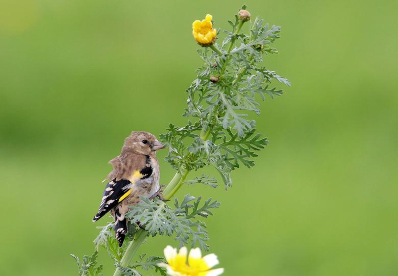 Vind me maar - Jonge putter, al was het toch al reeds september was dit nog een laat nestje putters die verstoppertjes speelden tussen het bloemenveld