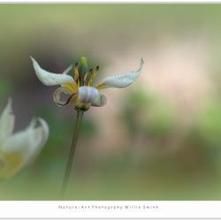 Tulip !