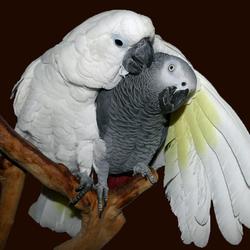 Mijn Witkuifkaketoe Maxi verzorgt veren van Grijze Roodstaart papegaai Alex.