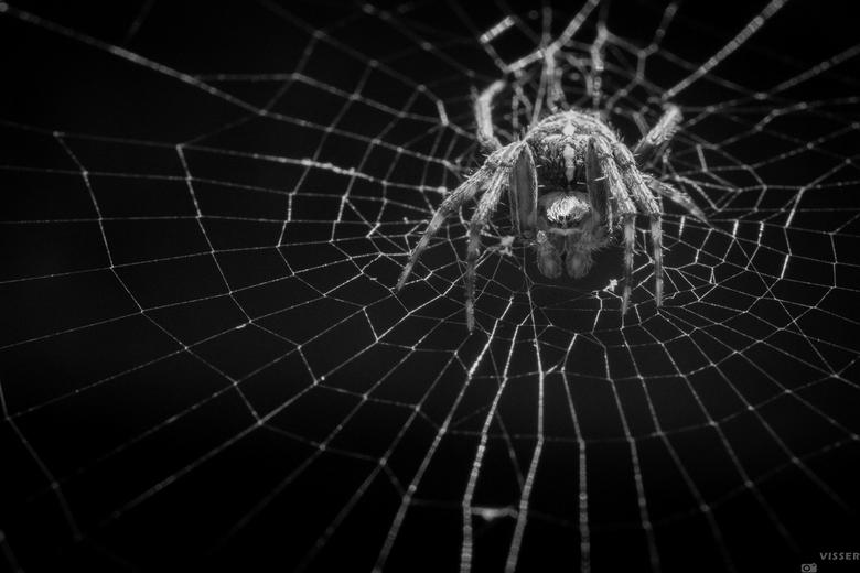 I'm waiting for you - Araneus diadematus