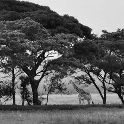 giraffe entabeni ZA