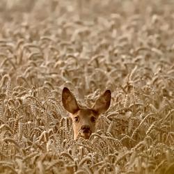 ree in het korenveld