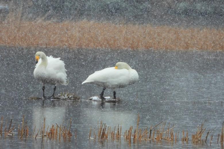 sneeuwbuitje - in nederland al zomer  hier nog af en toe winters dit was afgelopen vrijdag maar de zwanen zijn al weer op hun plekjes.<br />  gr mari