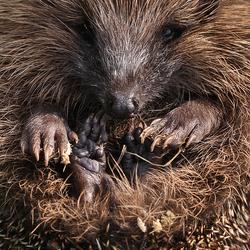 Hedgehog.
