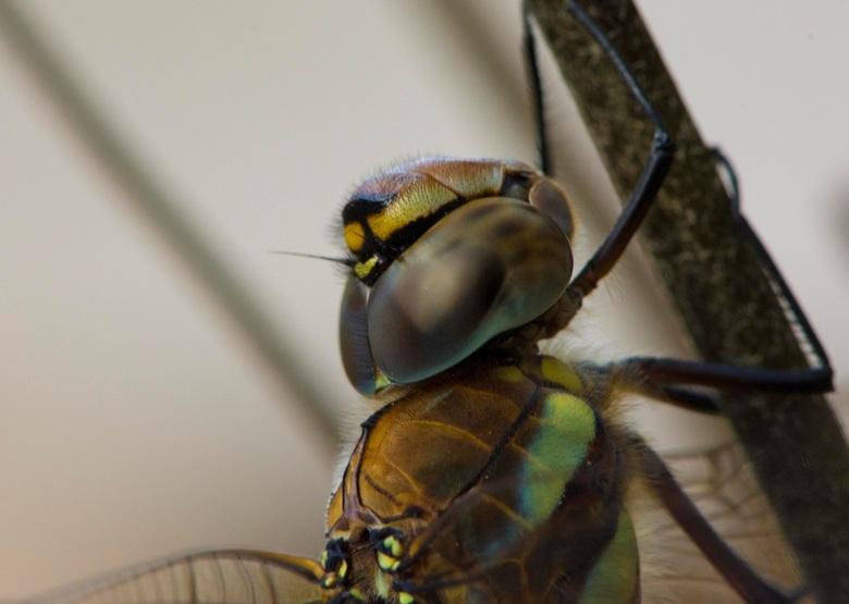 oog - libellen oog