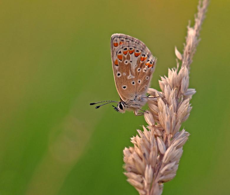 blauwtje - Er waren dit jaar maar weinig vlinders. Een droog voorjaar en een matige zomer waren hiervoor verantwoordelijk. Toch zaten op dit veldje ti