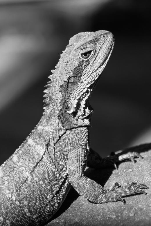 Water dragon (lizard) -
