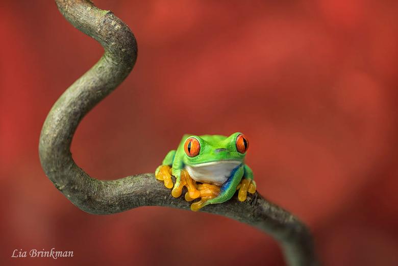 Rood oog maki kikker - Rood oog maki kikker<br /> Wat een prachtige kikker is dit toch met zijn grote oogjes en gele pootjes. Heerlijk om naar te kij