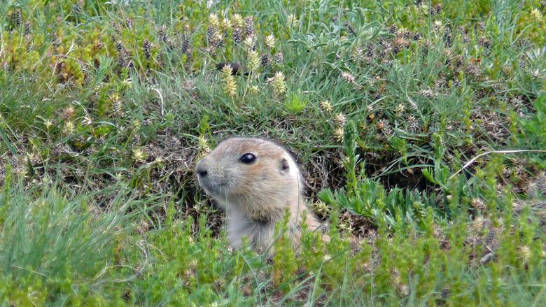Prairiedog - Van de hele familie was dit de meest verlegen. Nieuwsgierig dat wel..