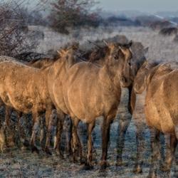 "Blauwe Kamer-Konikpaarden ""Beestenboel-dubbel dik"""