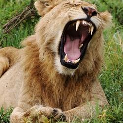 Leeuw in Ngorongoro