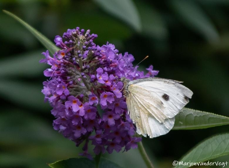 Koolwitje - Witjes zijn over &#039;t algemeen niet zo gemakkelijk om vast te leggen, gelukkig bleef deze gehavende vlinder, even zitten voor mij.<br /