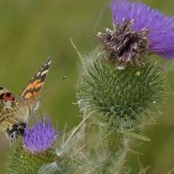 Vlinder en bij kogeldistel