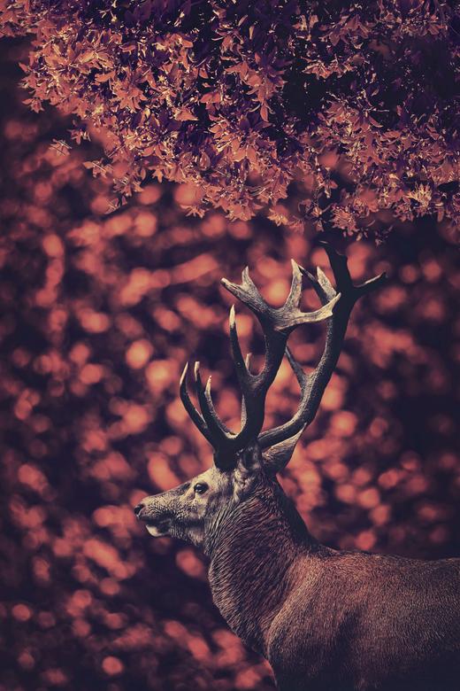 The red deer in the red forest (close up) - Ik weet niet wat het is, maar als u even op zwart bekijkt, wordt de foto zichtbaar. Dus u kunt alsnog de f