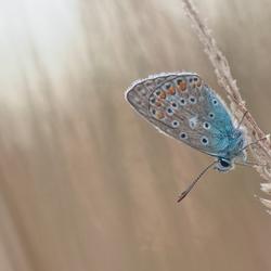 een avondblauwtje