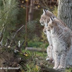 Lynxen