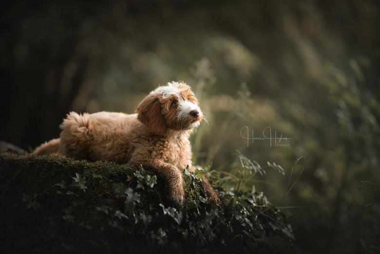 Once upon a time - Een portret van de 11 weken oude Labradoodle pup, Bailey.