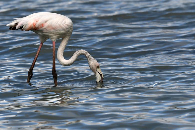 niet zo alledaags - Ook als wij in Spanje verblijven kijk ik regelmatig op waarneming.nl<br /> Ik zag de gewone of Europese flamingo terug in de lijs