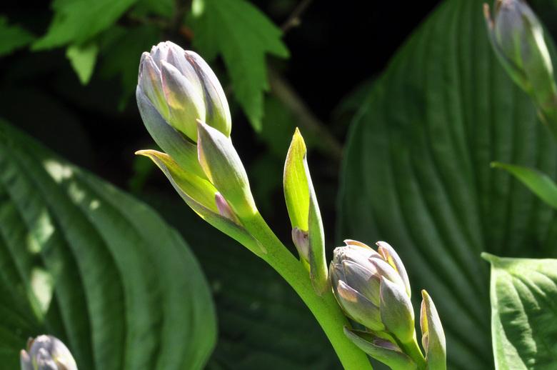 Hosta - Bottende bloem van de Hosta plant.