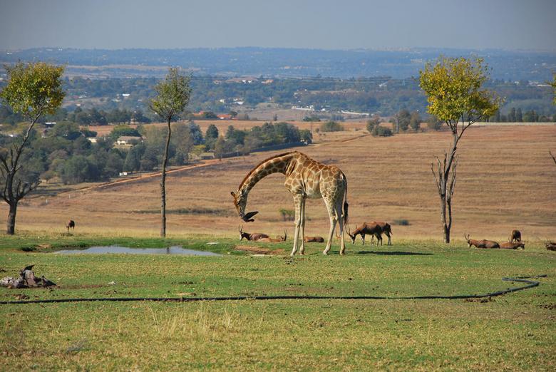 Giraffe aan het water -