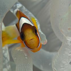 Juvenile anemonfish