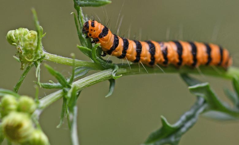 pas op - Ik heb gisteren bij een foto van een zweefvlieg het begrip mimicry geduid. Voor de vlinder van de sint-jacobsrups gaat het zich verschuilen a
