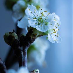 Appelbloesem -3-