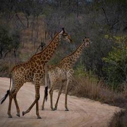 Giraffen Zuid Afrika
