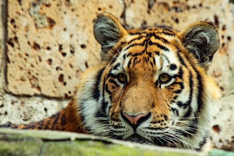 Portret tijger -
