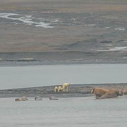 Deze ijsbeer en haar kroost leeft nog