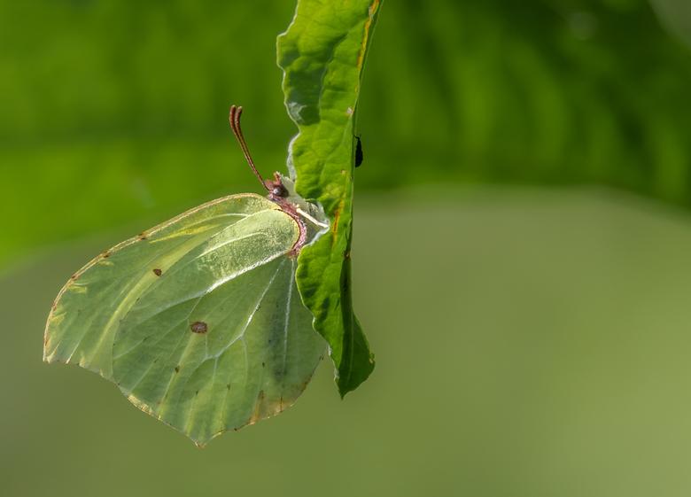 Citroen Vlinder (man)