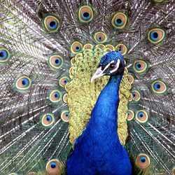 Peacocks Pride