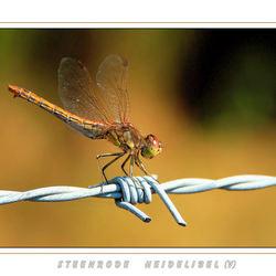 Steenrode Heidelibel(V)
