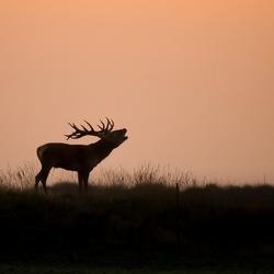 Edelhert tijdens zonsondergang