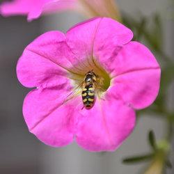 Kommazweefvlieg bij bloem