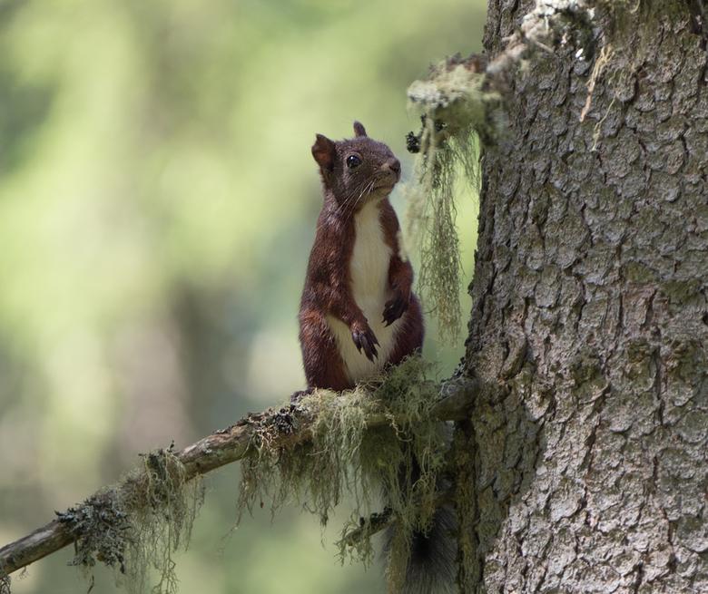 Grijze Eekhoorn - Grijze Eekhoorn die even rustig op een tak bleef zitten.<br /> Olympus OMD-E-M1 mark II en Leica 100-400mm lens.
