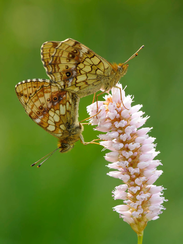 Purperstreepparelmoervlinder - purperstreepparelmoervlinder  (Brenthis ino)<br /> <br /> <br /> De purperstreepparelmoervlinder leeft op moerasspir