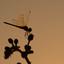 libelle met tegenlicht