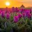 Tulpen op Texel tijdens zonsopkomst.