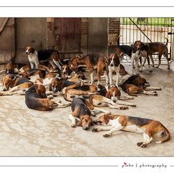 Franse jachthonden