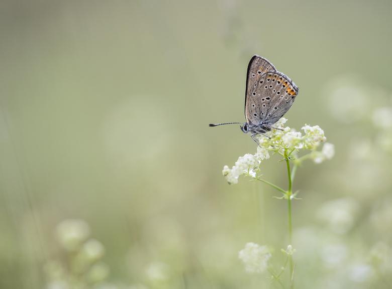 Between the flowers - Qua fotografie vertoef ik echt in mijn winterslaap, gelukkig is er het archief. Foto toont een Rode vuurvlinder. Dank voor julli