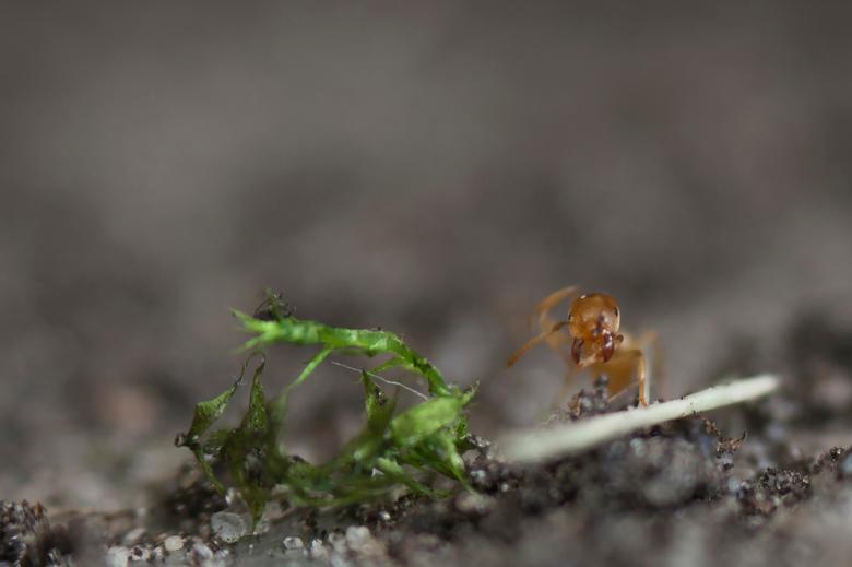 mier - een van de kleinsten