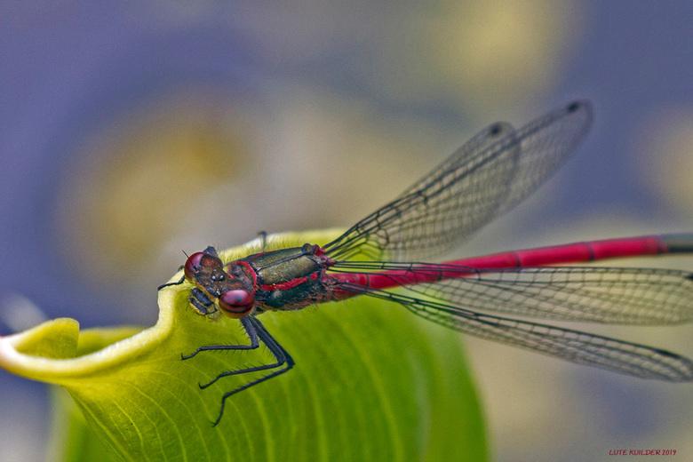 Bloedrode Heidelibel - Bloedrode Heidelibel op een blad.