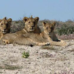 Namibië, Etosha, Leeuwen langs de kant van de weg