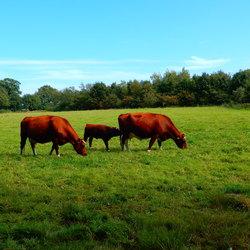 Bonte koeien met kalf