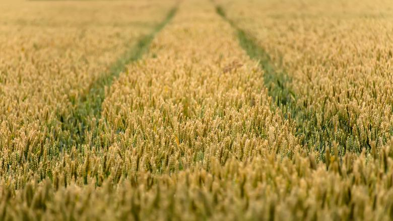Graanveld -