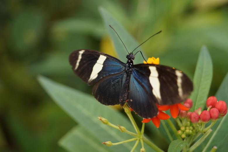 Vlinder 2 - Vlinder in de vlindertuin te Diergaarde blijdorp
