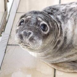 Jonge zeehond in opvang