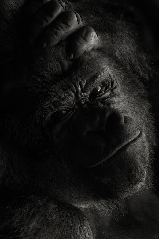 Let Me Think About It - Een portret van Bokito wat een indrukwekkend dier een echte Boss.<br /> In het binnenverblijf gefotografeerd door het glas zo