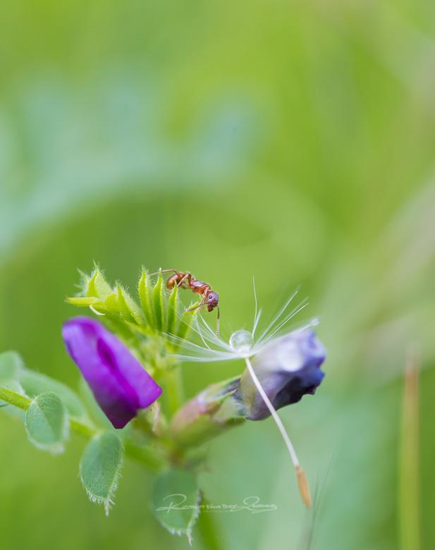 mier bij de druppel - Een van de heerlijkste dingen om te ontspannen lekker op je buik liggen en geniet van de kleine wondere wereld om ons heen
